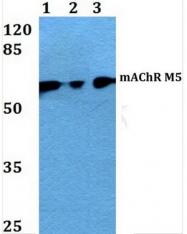 AP01305PU-N - Muscarinic acetylcholine receptor M5