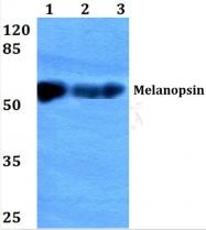 AP01328PU-N - Melanopsin
