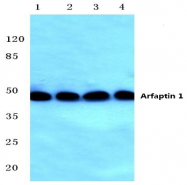 AP01383PU-N - Arfaptin-1
