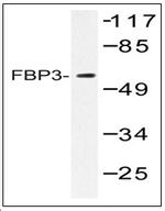AP01471PU-N - FUBP3