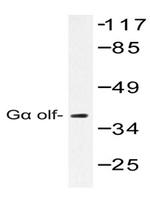 AP01477PU-N - G alpha protein olf