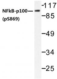 AP01642PU-N - NFKB2 / NF-kappa-B p100/p52
