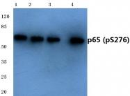 AP01647PU-N - RELA / NF-kB p65