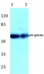 AP01650PU-N - RELA / NF-kB p65