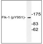 AP01718PU-N - CD309 / VEGFR-2 / Flk-1