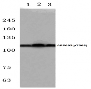 AP01726PU-N - Amyloid beta A4 protein / APP