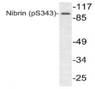 AP01891PU-N - Nibrin