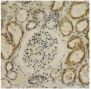AP02029SU-S - Glypican-4 (GPC4)