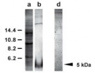 AP02293SU-S - EGF Precursor (Suberites domuncula)
