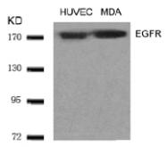 AP02613PU-S - EGFR / ERBB1