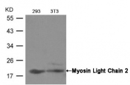 AP02680PU-N - Myosin light chain 2 (MYL2)