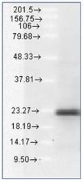 AP03038PU-S - Bcl-2-like 11