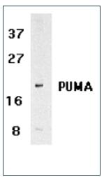 AP03039PU-S - PUMA