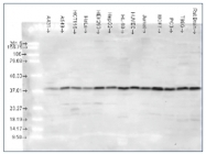 AP03041SU-S - MAP kinase p38 alpha / MAPK14