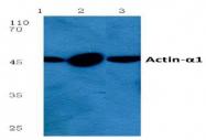 AP06001PU-N - alpha skeletal muscle Actin / ACTA1