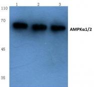 AP06007PU-N - AMPK1/AMPK2