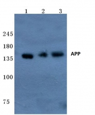 AP06009PU-N - Amyloid beta A4 protein / APP