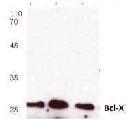 AP06029PU-N - Bcl-2-like 1