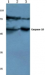 AP06036PU-N - Caspase-10