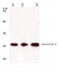 AP06040PU-N - Caveolin-1
