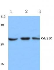 AP06044PU-N - CDC25C