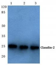 AP06063PU-N - Claudin-2 / CLDN2