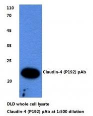 AP06065PU-N - Claudin-4 / CLDN4