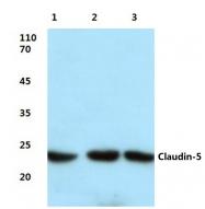 AP06066PU-N - Claudin-5 / CLDN5