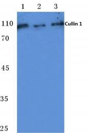 AP06077PU-N - Cullin 1