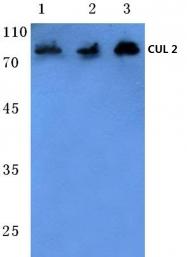 AP06078PU-N - Cullin-2
