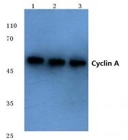 AP06079PU-N - Cyclin A2