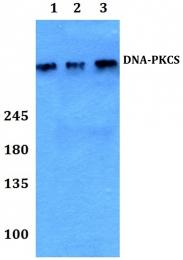 AP06088PU-N - DNA-PKcs / PRKDC / XRCC7