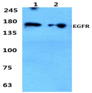 AP06096PU-N - EGFR / ERBB1