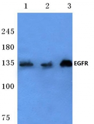 AP06098PU-N - EGFR / ERBB1