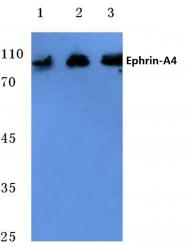 AP06104PU-N - Ephrin-A4