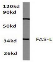 AP06117PU-N - CD178 / Fas Ligand