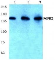 AP06119PU-N - CD332 / FGFR-2
