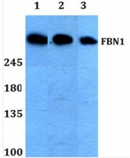 AP06122PU-N - Fibrillin-1