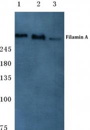 AP06123PU-N - Filamin-A