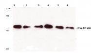 AP06125PU-N - c-fos