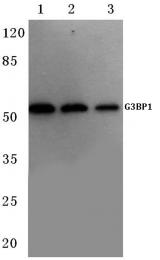 AP06127PU-N - G3BP1 / G3BP