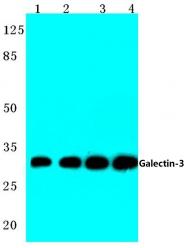 AP06132PU-N - Galectin-3