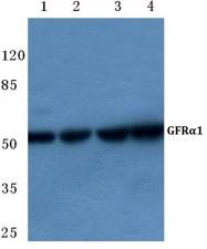 AP06136PU-N - GFRA1 / GDNFR-alpha
