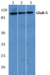 AP06140PU-N - Glutamate receptor 5 / GLUR5