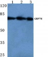 AP06149PU-N - HSPA5 / GRP78