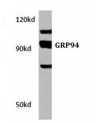 AP06150PU-N - Endoplasmin / HSP90B1 / TRA1