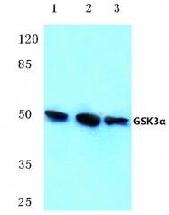 AP06151PU-N - GSK3 alpha