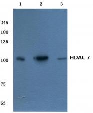 AP06161PU-N - HDAC7