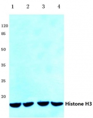 AP06169PU-N - Histone H3.1