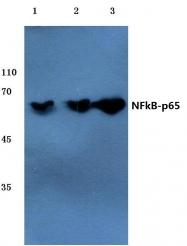AP06247PU-N - RELA / NF-kB p65